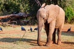 близкий слон вверх Стоковое Изображение RF