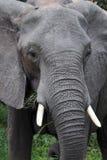 близкий слон вверх Стоковое Фото