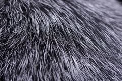Близкий снимок австралийские скотины выслеживает волосы ` s стоковая фотография