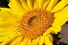 близкий солнцецвет вверх Стоковое фото RF