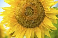 близкий солнцецвет вверх Стоковое Фото