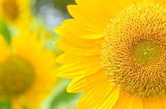 близкий солнцецвет вверх стоковые фотографии rf