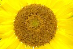 близкий солнцецвет вверх Стоковые Фото