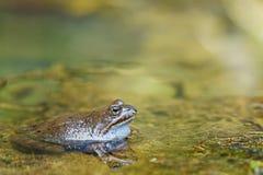 близкий съестной пруд лягушки вверх Стоковая Фотография
