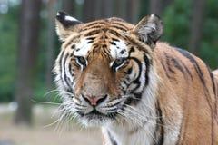 близкий тигр съемки портрета стороны вверх Стоковые Фото