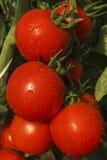 близкий томат вверх Стоковое Изображение RF