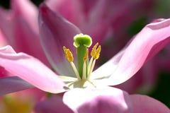 близкий тюльпан вверх Стоковое фото RF