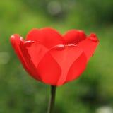 близкий тюльпан вверх Стоковые Фото