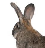 близкий фламандский гигантский кролик вверх стоковое фото rf