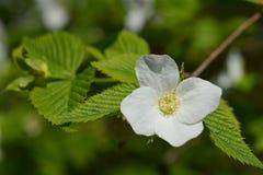 близкий цветок вверх по белизне Стоковое фото RF