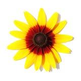 близкий цветок конуса вверх по желтому цвету взгляда Стоковое Изображение