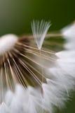 близкий цветок одуванчика вверх Стоковое Изображение