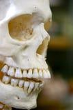 близкий череп вверх Стоковые Фото