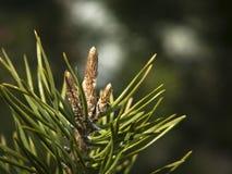 близкий conifer вверх стоковая фотография rf