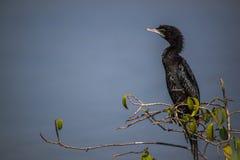 близкий cormorant вверх Стоковые Изображения RF