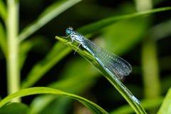 близкий dragonfly затеняет вверх по крылам стены Фото конца-вверх dragonfly сидя на листе Цвет Dragonfly голубой в лесе в природе Стоковая Фотография