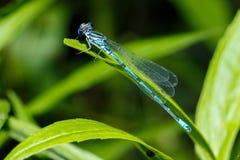 близкий dragonfly затеняет вверх по крылам стены Фото конца-вверх dragonfly сидя на листе Цвет Dragonfly голубой в лесе в природе Стоковые Изображения