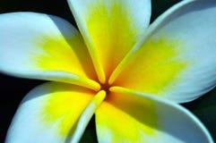близкий frangipani вверх стоковые изображения