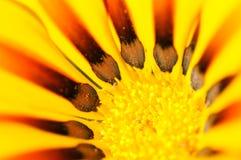близкий gazania цветка вверх по желтому цвету Стоковые Фотографии RF