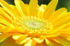 близкий gerbera вверх по желтому цвету Стоковое фото RF