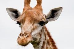 близкий giraffe вверх Стоковая Фотография