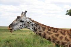 близкий giraffe вверх Стоковая Фотография RF
