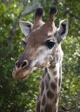 близкий giraffe стороны вверх Стоковые Фотографии RF
