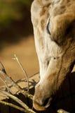 близкий giraffe s стороны вверх Стоковые Изображения RF