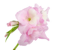 близкий gladiolus вверх Стоковое Фото
