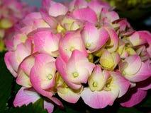 близкий hydrangea вверх Стоковые Фото