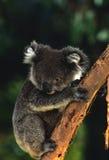 близкий koala вверх Стоковая Фотография RF