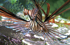 близкий lionfish вверх Стоковые Фотографии RF