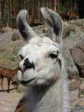 близкий llama вверх Стоковая Фотография
