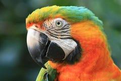 близкий macaw вверх Стоковые Фотографии RF