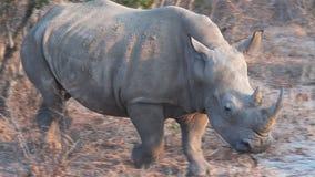близкий rhinoceros вверх акции видеоматериалы