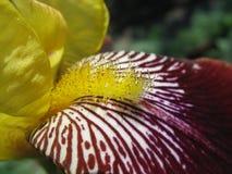 близкий stamen радужки вверх по желтому цвету Стоковое Изображение RF