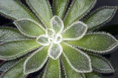 близкий succulent вверх Стоковое фото RF