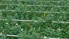 Близкое взгляд сверху на кустах с белыми розами сток-видео