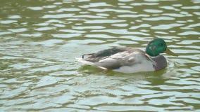 близкое заплывание реки утки вверх видеоматериал