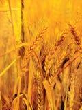 близкое золото вверх по пшенице Стоковые Изображения