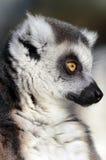 близкое кольцо lemur замкнутое вверх Стоковое фото RF