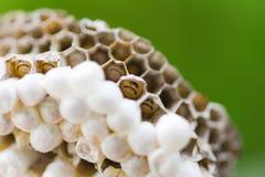 Близкое поднимающее вверх гнездо оси на предпосылке природы дерева или гнездо шершня на листьях с личинкой - диких насекомых стоковая фотография rf