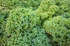 Близкое поднимающее вверх изображение листьев курчавой листовой капусты на поле стоковое фото