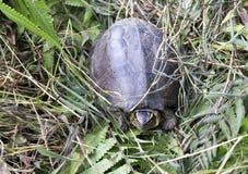 Близкое поднимающее вверх фото черепахи стоковое фото