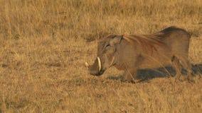 Близкое поднимающее вверх warthog встает на колени для того чтобы кормить внутри запас игры Mara Masai видеоматериал