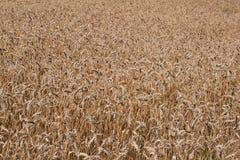 близкое поле вверх по пшенице взгляда Стоковая Фотография