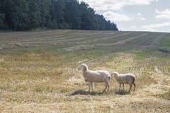 близкое поле пася овец вверх Стоковая Фотография