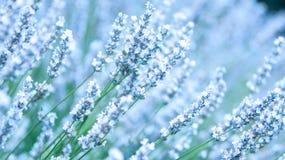 близкое поле цветет сирень лаванды увиденная вверх по белизне Стоковые Изображения