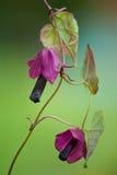 близкое пурпуровое rhodochiton дождя вверх Стоковые Изображения