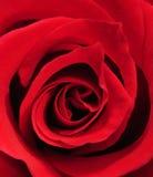 близкое розовое поднимающее вверх Стоковые Фотографии RF